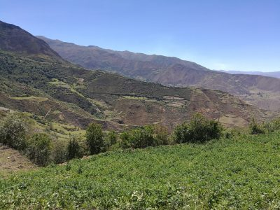 Cultivo ecológico de papa nativa en Ambo, Huánuco