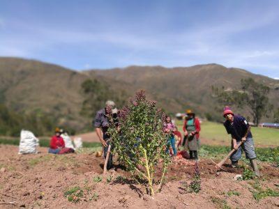 La familia Fernández cultiva papas nativas con chakitaqlla